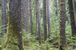 Forest-of-Sitka-Spruce