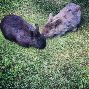 Wild bunnies eating clover at Minoru Park